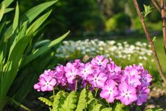 Pink primula on the background of white flowers. Summer plants bloom in my garden stock image