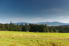 Summer in polish mountain. Polish mountain in summer with cows Stock Image