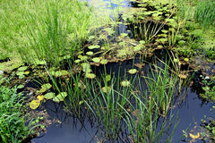 Summer pond. Royalty Free Stock Image