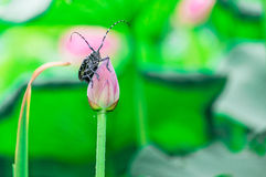 The summer of the pond, the lotus flower beetles rest in the land. Stock Photo