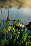 Summer pond, Stony beach, dawn, first rays of sun, sunrise. Wild gold flower of beautiful yellow iris. Concept of Stock Image