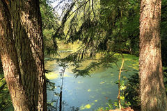 Summer pond in the woods. Fantastic landscape summer forest with a pond Stock Photography