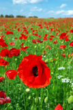 Summer poppies Royalty Free Stock Images