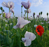 Summer Poppies in a field Royalty Free Stock Photography