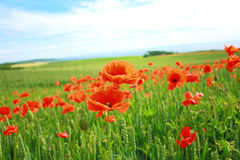 Summer Poppies In The Fields Stock Image