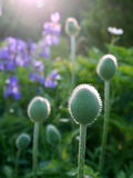 Summer: poppy buds at dawn Stock Image