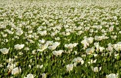 Summer poppy field. Infinitely white poppy field, nice background Stock Photo