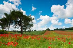 Summer Poppy Field Royalty Free Stock Photo