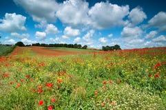 Summer Poppy Field Stock Photo