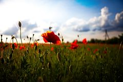 Summer poppy field stock photos