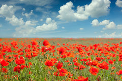 Summer poppy field landscape with blue sky and clouds Royalty Free Stock Photography