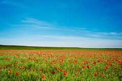 Summer Poppy Field Royalty Free Stock Image