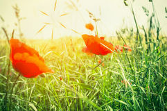 Summer poppy field in sun light Royalty Free Stock Photography
