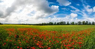 Panoramic Red poppy flowers and blue sky stock image