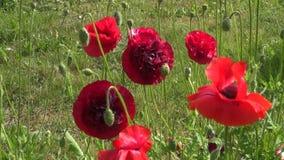 summer poppy flowers in garden stock video