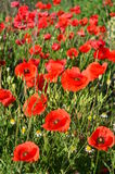 Summer poppy flowers Stock Photo