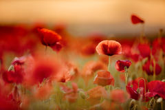 Summer Poppy Meadow Royalty Free Stock Photos