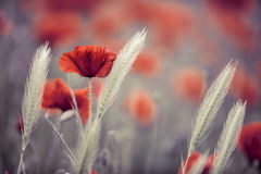 Summer Poppy Meadow Royalty Free Stock Image