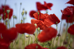Summer Poppy Meadow Royalty Free Stock Photography