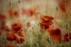 Summer Poppy Meadow Stock Images