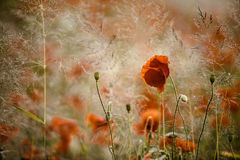 Summer Poppy Meadow Royalty Free Stock Photo