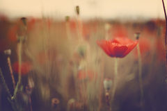 Summer Poppy Meadow Royalty Free Stock Images