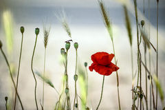 Summer Poppy Meadow Stock Photography