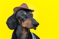 Summer portrait of a adorable breed dog, black and tan, wearing a t-shirt and a cowboy hat, on a colorful yellow background stock images