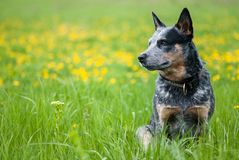 Summer portrait of Australian Cattle Dog Stock Images