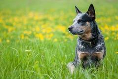 Summer portrait of Australian Cattle Dog. On dandelions meadow stock images