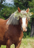 Summer portrait of a beautiful draught horse Royalty Free Stock Images