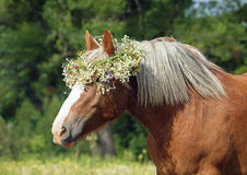 Summer portrait of a beautiful draught horse Stock Photography