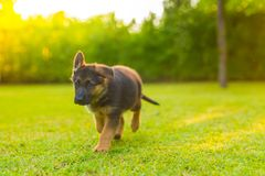 Summer portrait of German Shepherd puppy playing in the grass. Puppy dog playing outdoors in green grass in soft sunset light Royalty Free Stock Photos