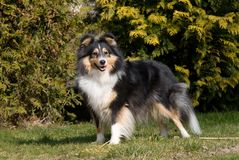 Summer portrait of lovely sheltie collie Royalty Free Stock Photo