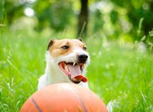 Summer portrait of tired Jack Russell Terrier dog with basketball ball