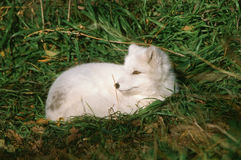 Summer Portrait Of A White Arctic Fox Royalty Free Stock Photos
