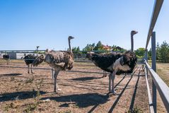 Family of African ostriches Stock Photography