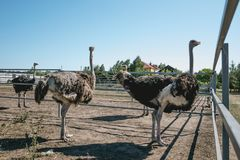 Family of curious African ostriches on an ostrich farm Royalty Free Stock Photography