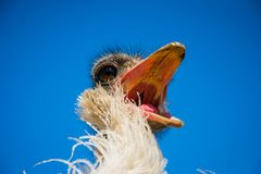Funny restless noisy African ostrich Royalty Free Stock Images