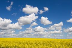 Summer on the Prairie. Canola field Stock Image