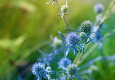 Summer prickly flowers of purple wild thistles on a bright green background (eryngium planum). Stock Photo