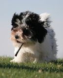 Summer puppy. Small puppy playing with a twig on a bight summer day stock image