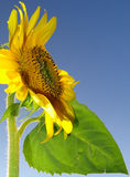 Summer purity. Sunflower profile and leaf over blue sky Royalty Free Stock Photo