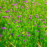 Summer purple flowers in the   field Stock Photography