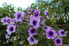 Purple petunia in a pot in the open air stock photo