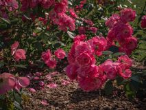 Summer purple roses fall to the ground. Floral natural background. Stock Photos