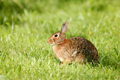 Summer Rabbit Stock Image