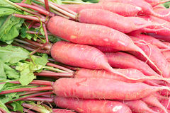 Summer radish Stock Image
