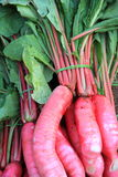Summer Radish . Stock Images