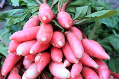 Summer Radish. Royalty Free Stock Image